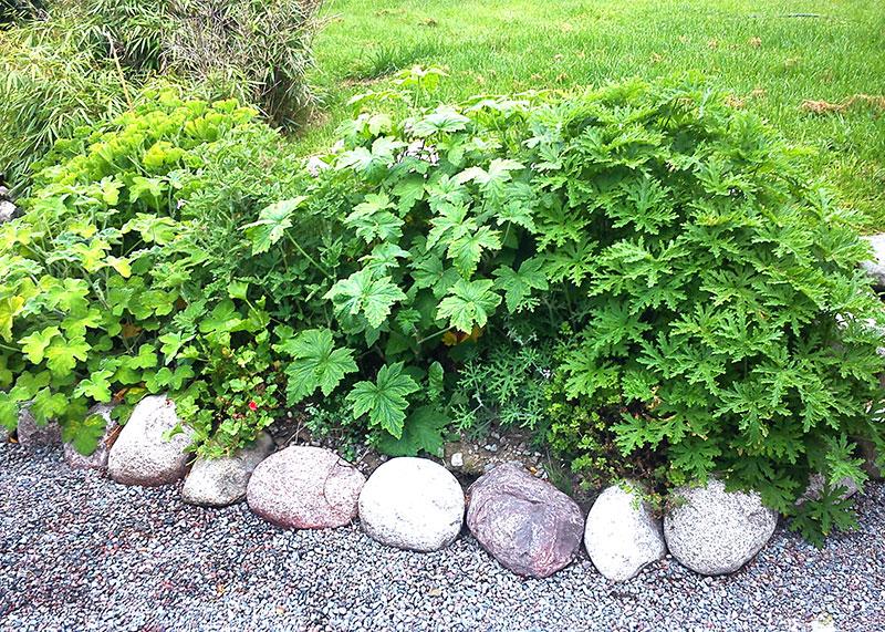 Doftpelargoner planterade i rabatten