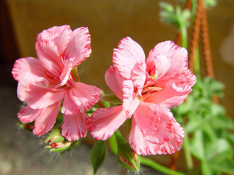 Hängpelargon Jean Bart här blommor av nejliktyp