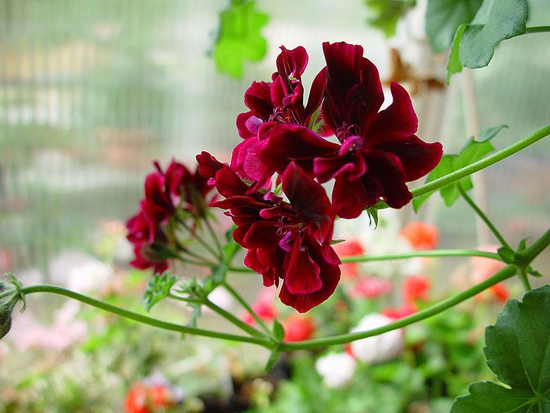 Hängpelargon 'Rio Grande' har mörkt purpurröda blommor
