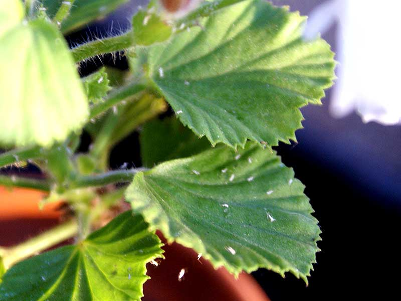 Tydliga vita skinn från bladlöss som utvecklats vidare