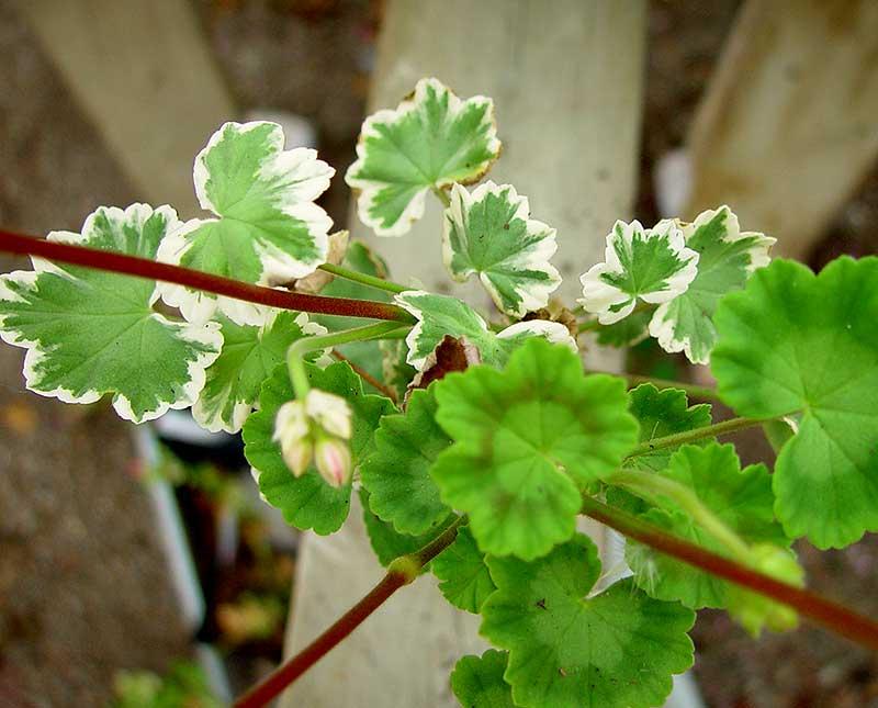 Brokbladig pelargon med helgröna blad