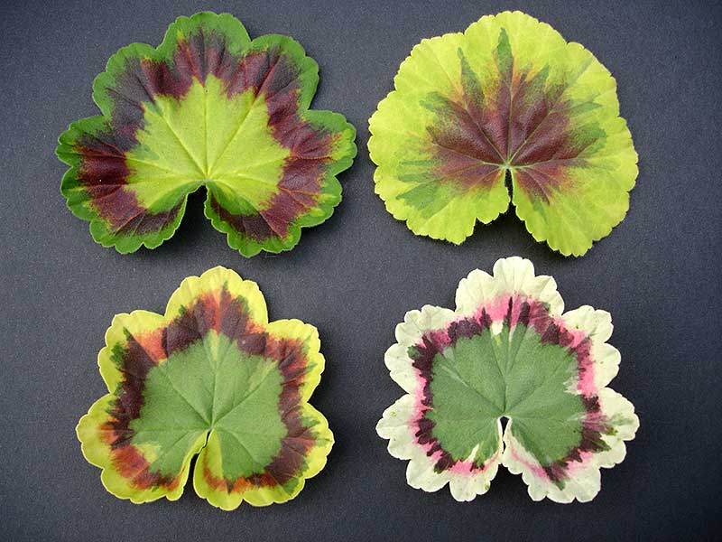 Exempel på flerfärgade pelargonblad