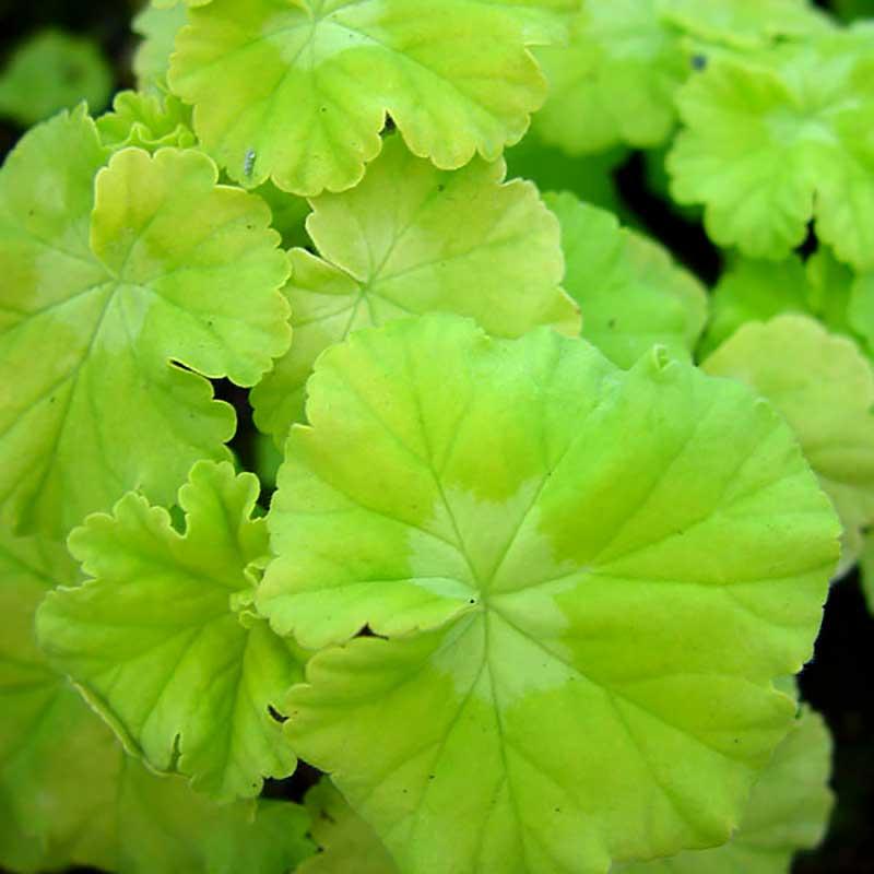 Gyllengula pelargonblad