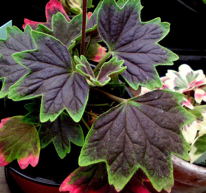 Stjärnpelargon med mörkbruna blad