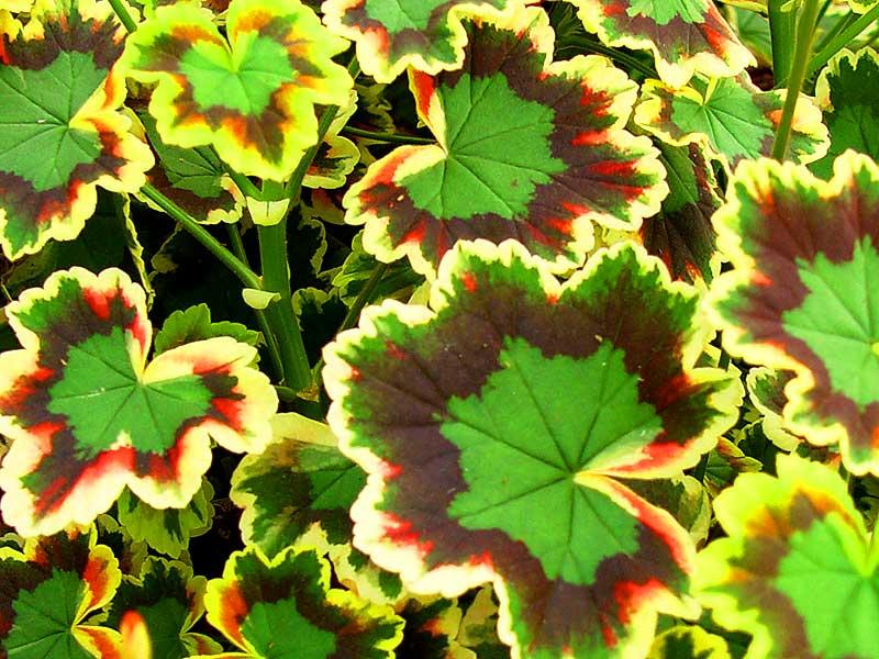 Pelargonen Mrs Pollock har trefärgade blad