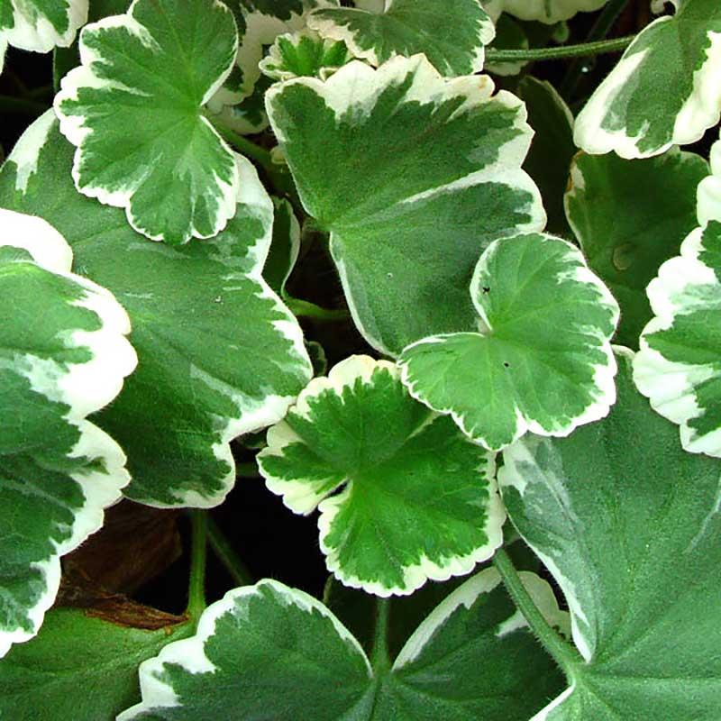 Pelargonen 'Mrs Parker' har blad med vita kanter.