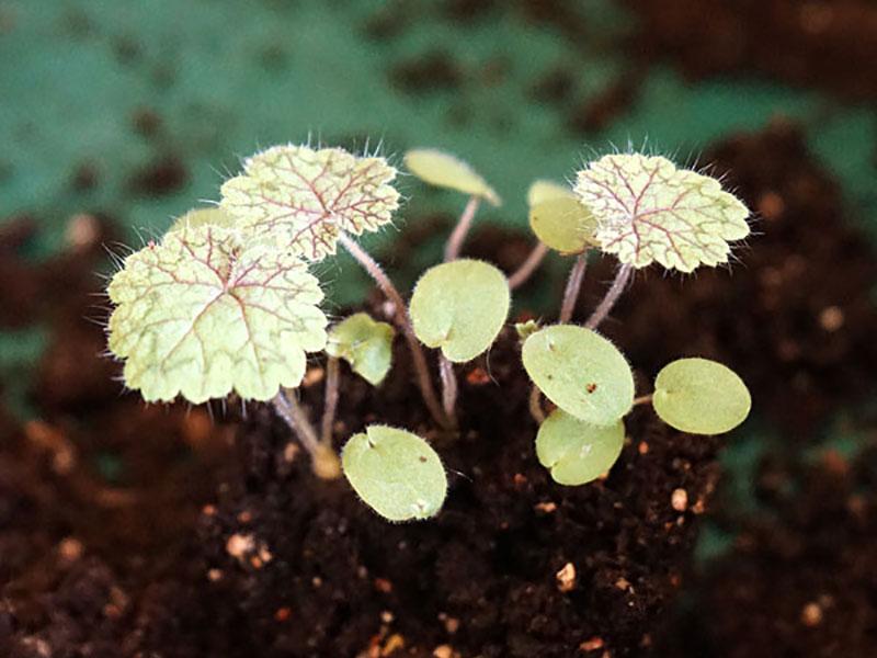 Fröplantor av Pelargonium barklyi