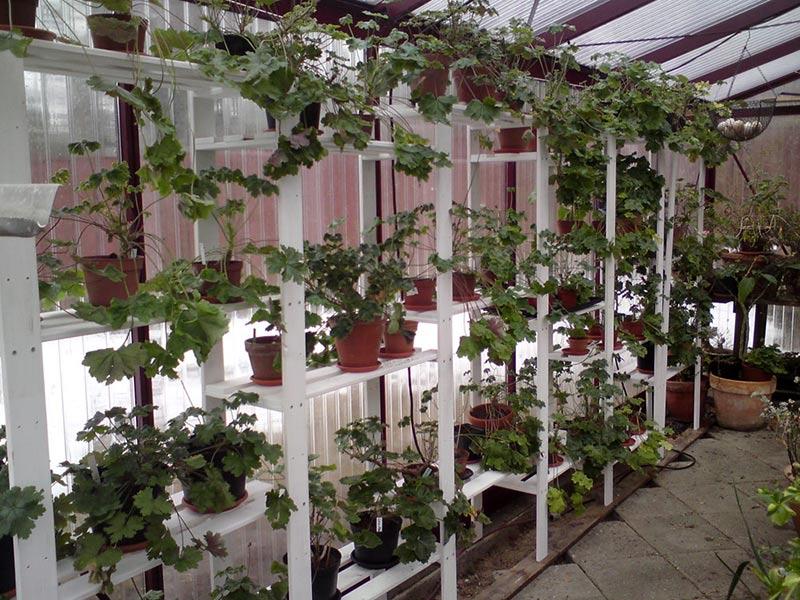 Övervintring av pelargoner på hyllor i ett uppvärmt växthus