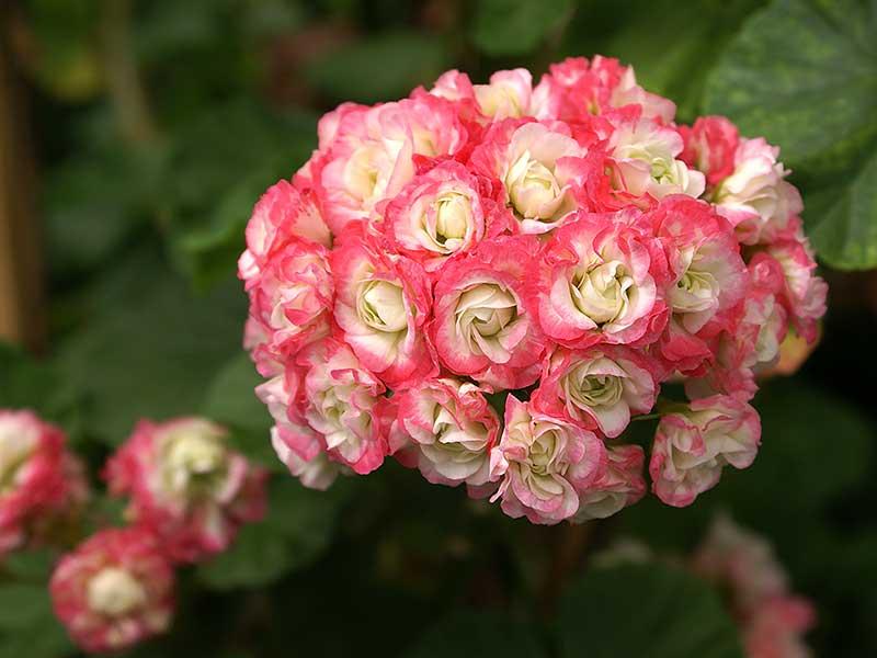 Zonalpelargon Appleblossom Rosebud är en rosenknoppspelargon