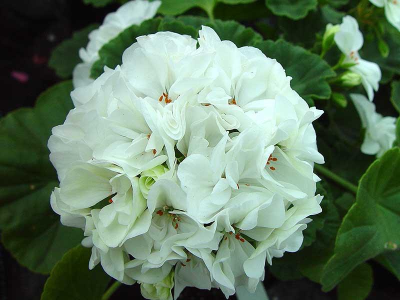 Zonalpelargon Arbrå har vita dubbla blommo