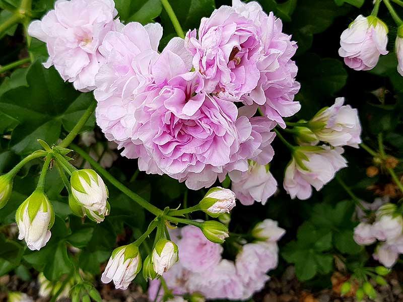 Hängpelargonen Jackie har blommor som påminner om rosenknoppar