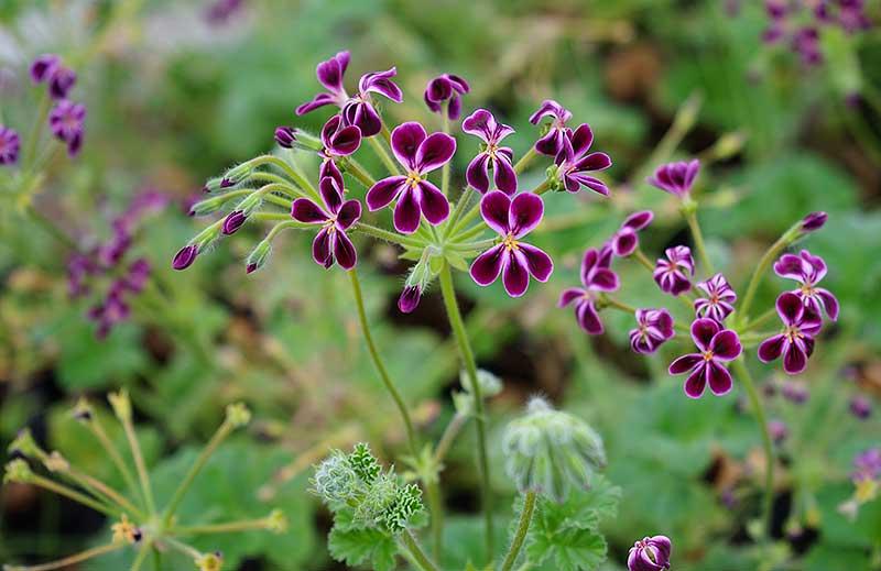 Primärhybrid P. x Lawrenceanum har lila blommor