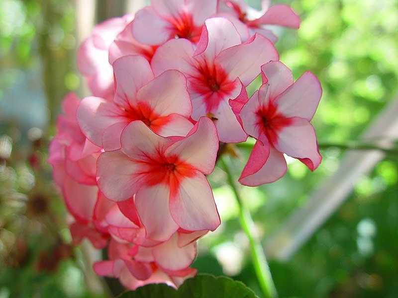 Zonalpelargon 'Augusta' har enkla blommor med mörkare mitt