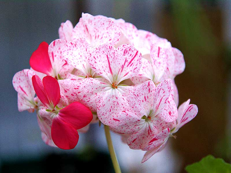 Zonalpelargon med blommor av äggskalstyp
