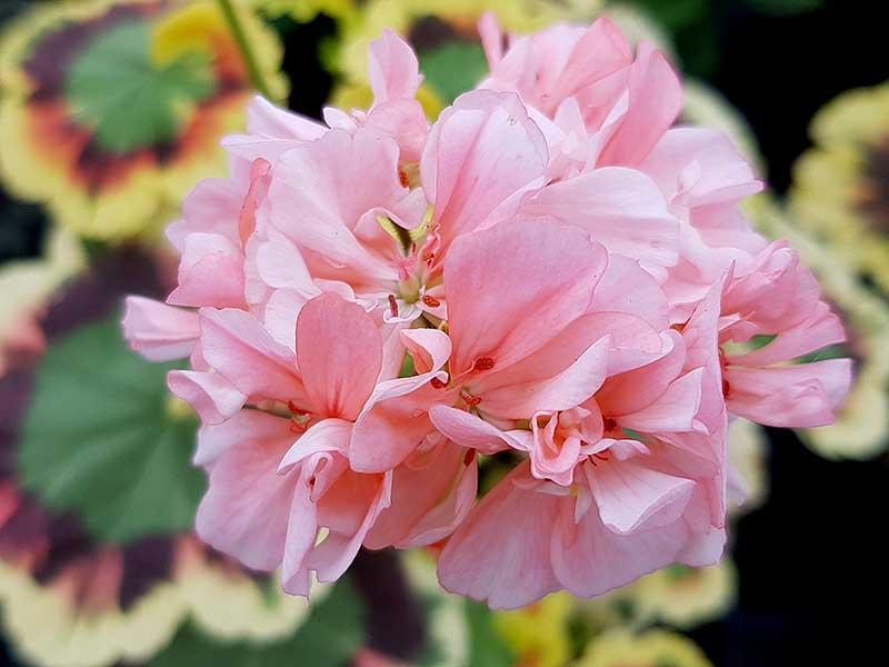 Zonalpelargon Goldie har halvdubbla blommor