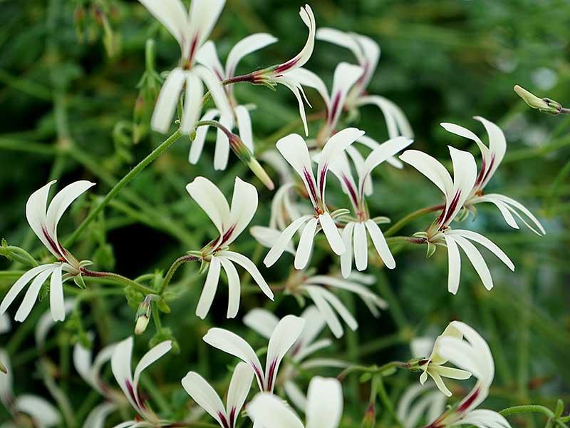 Blommor på Pelargonium trificum