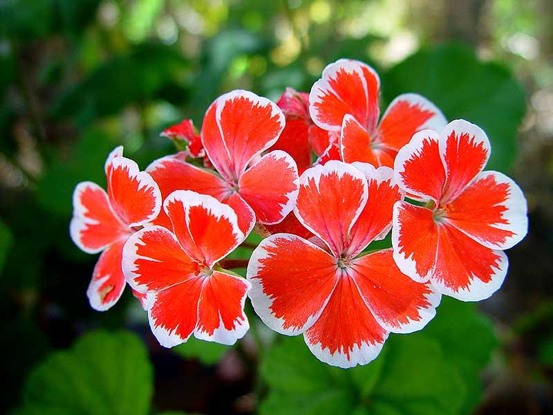 Zonalpelargon Mr Wren har röda blad med vita kanter