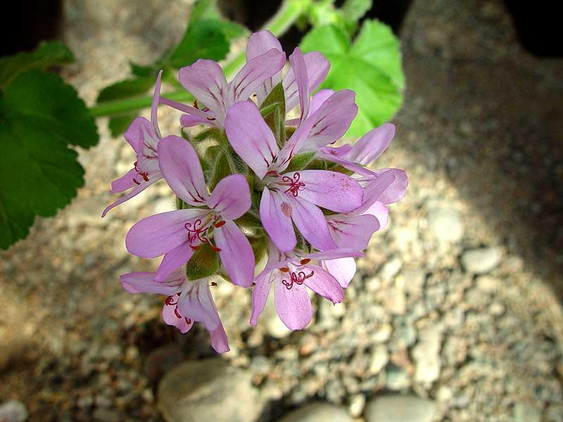 Pelargonium capitatum, första pelargonen till Sverige
