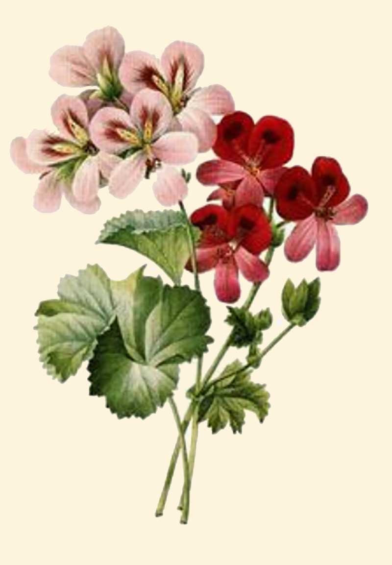 Exempel på pelargoner som korsades frm under 1800-talet