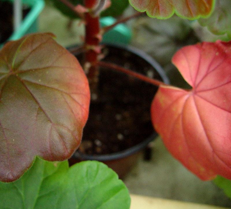 Exempel stressade blad på pelargon som blir röda