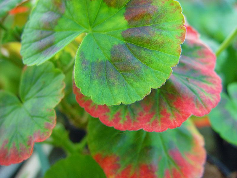 Pelargon med röda blad