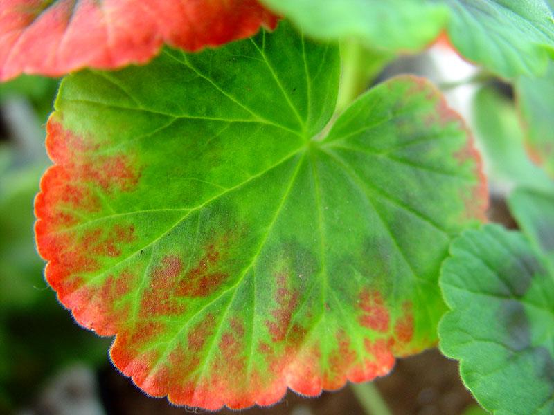 Missfärgade röda kanter på pelargonblad