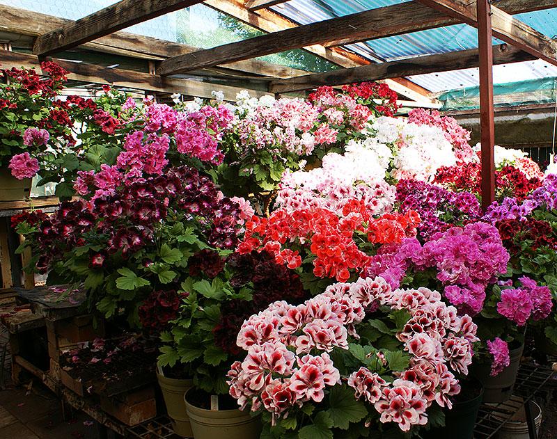 Olika sorters engelska pelargoner hos pelargonsamlare i växthus
