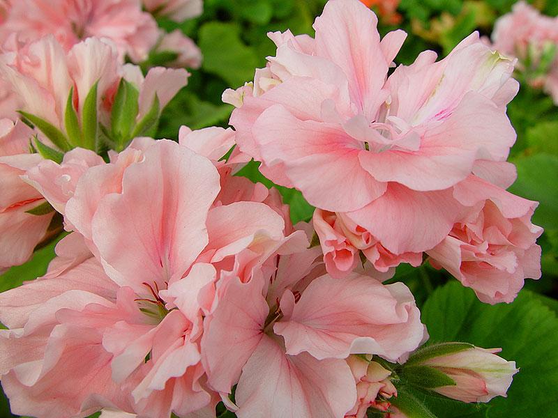 Engelsk pelargon med rosa blommor Phyllis Richardson