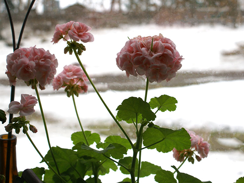 Blommande mårbackapelargon i vårfönstret