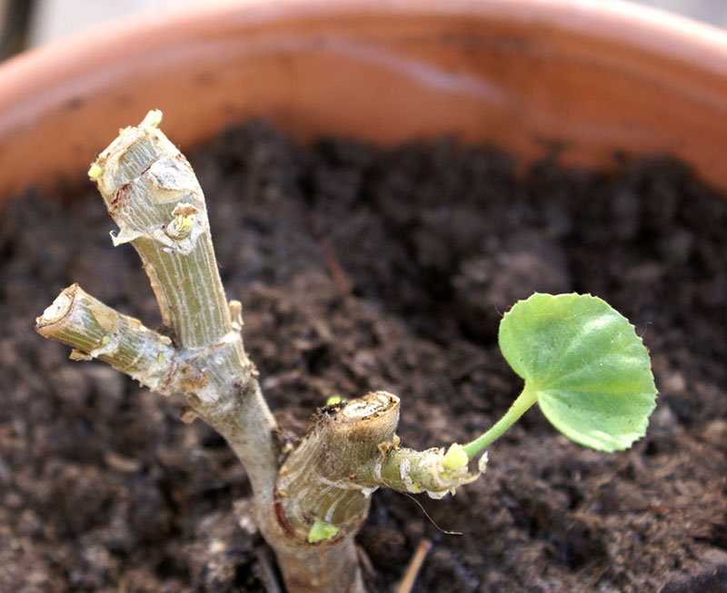 Pelargon som är beskuren på våren