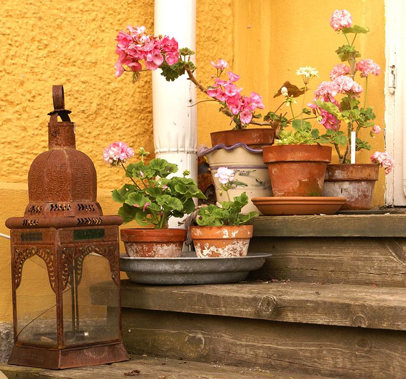 Rosablommande pelargoner utställda på trappen utomhus