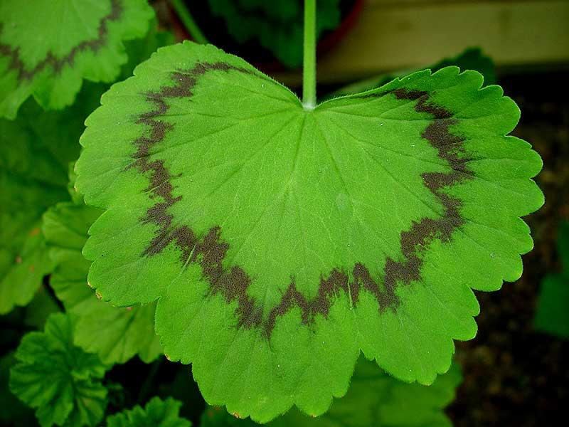 Blad med zon hos Pelargonium zonale