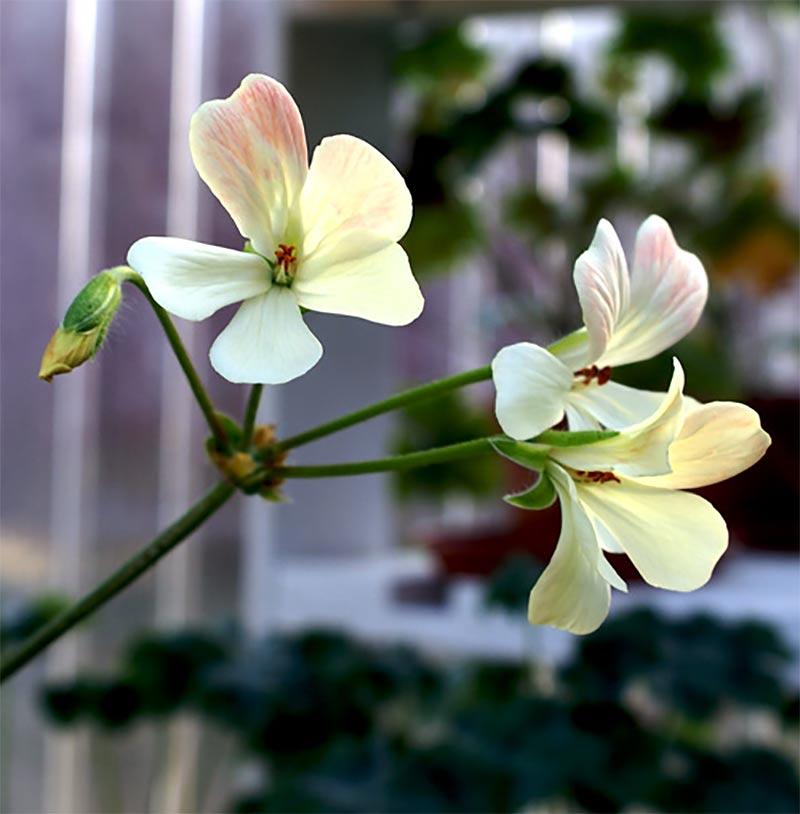 Zonarticpelargon med enkla gula blad