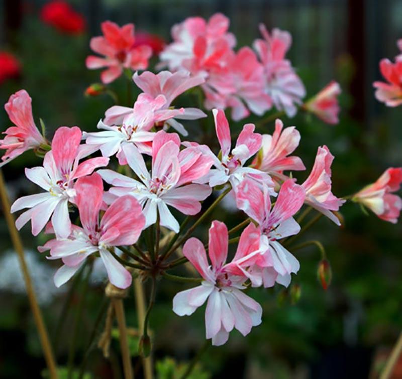 Zonarticpelargon med halvdubbla blommor