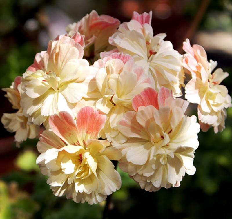 Framkorsad zonarticpelargon med rosa och gula kronblad
