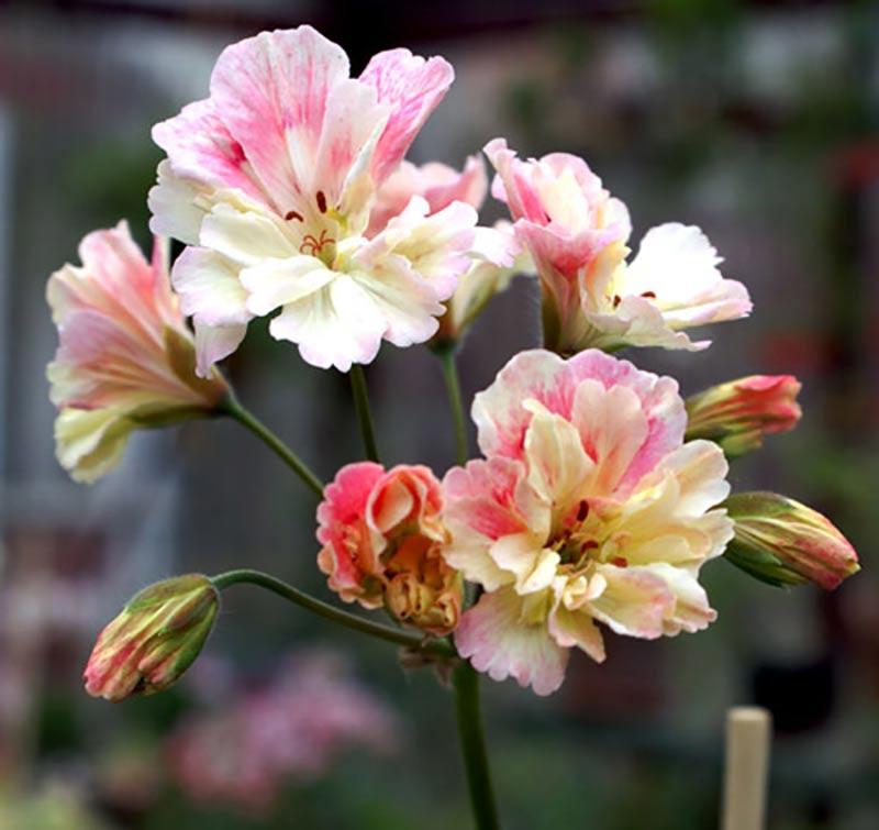 Zonarticpelargon med nejlikfransade kronblad
