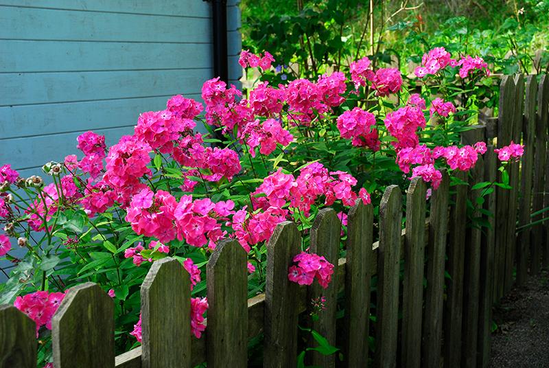 Flox planterad vid staket