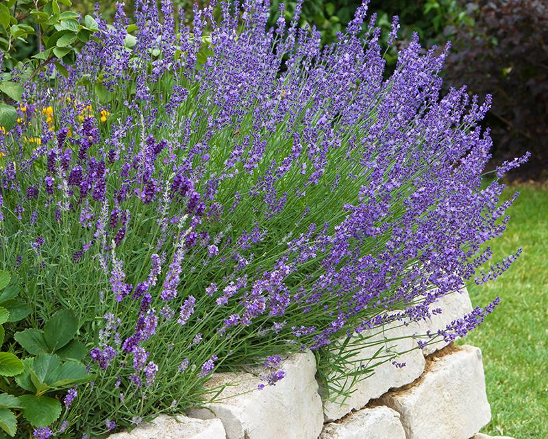 Lavendel i upphöjd bädd för god dränering