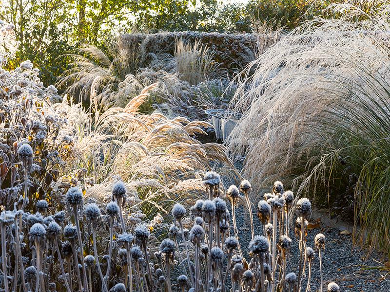Fröställningar av perenner och prydnadsgräs på vintern