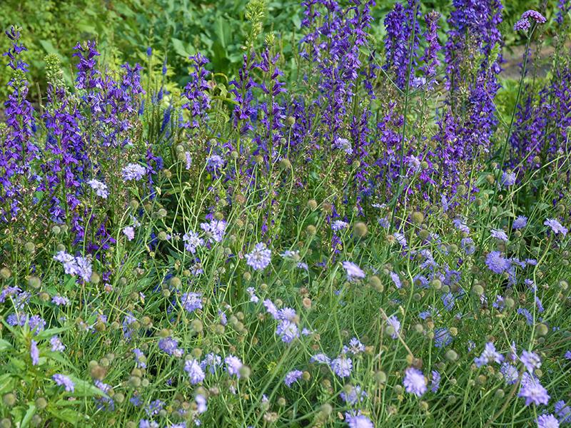 Vädd och riddarsporrar i lila nyanser