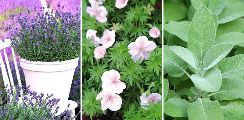 Lavendel, blodnäva Geranium och salvia i kruka