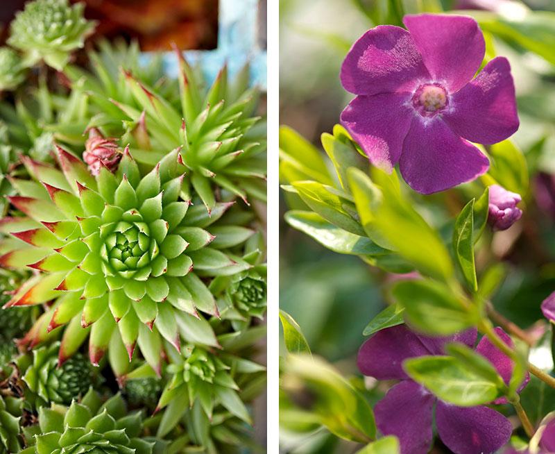 Vintergröna perenner i kruka taklök och vintergröna