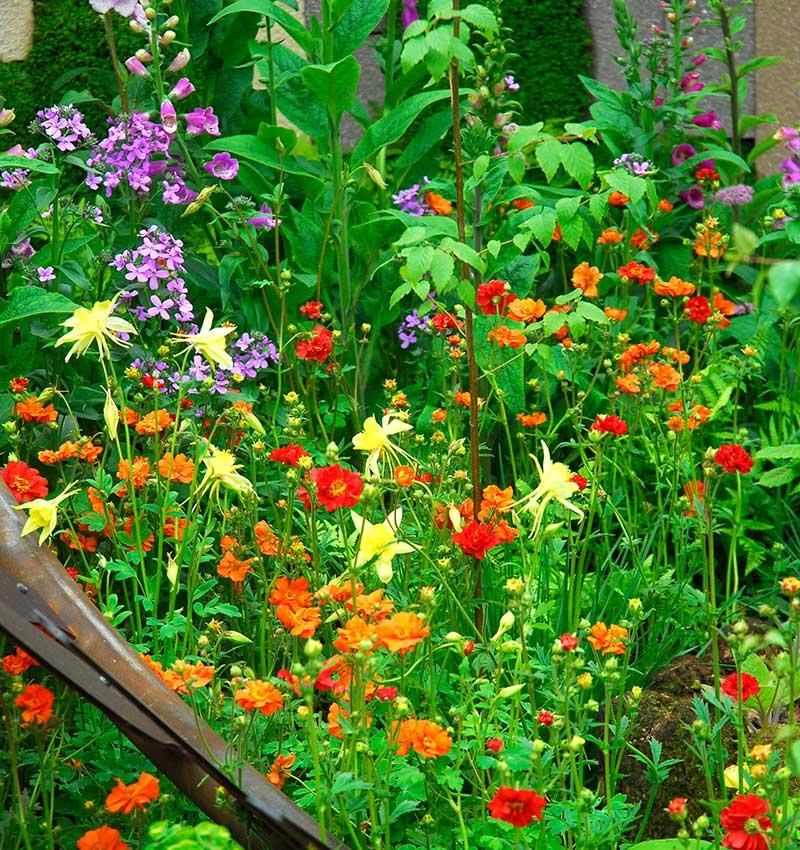 Akleja i torpträdgård cottage garden