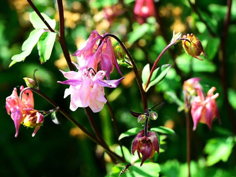 Akleja rosa