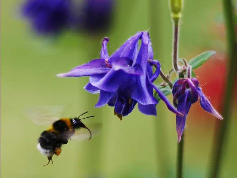 Akljea pollinerad av humla