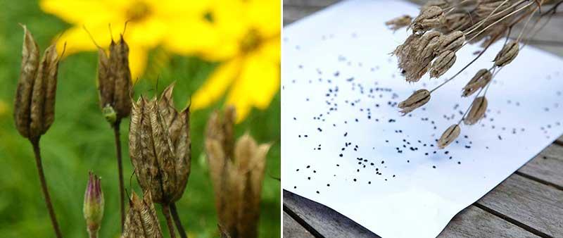 Frön av akleja från mogen frökapsel