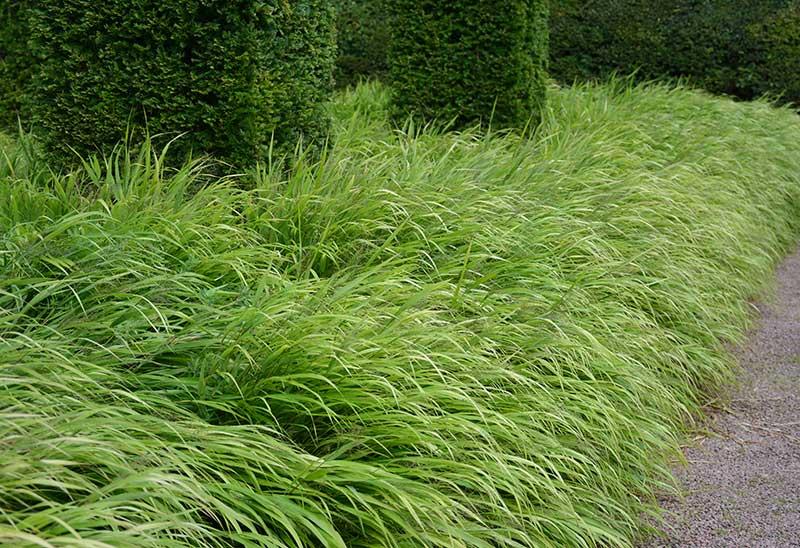 Snabb förökning av perenna prydnadsgräs hakonegräs med delning