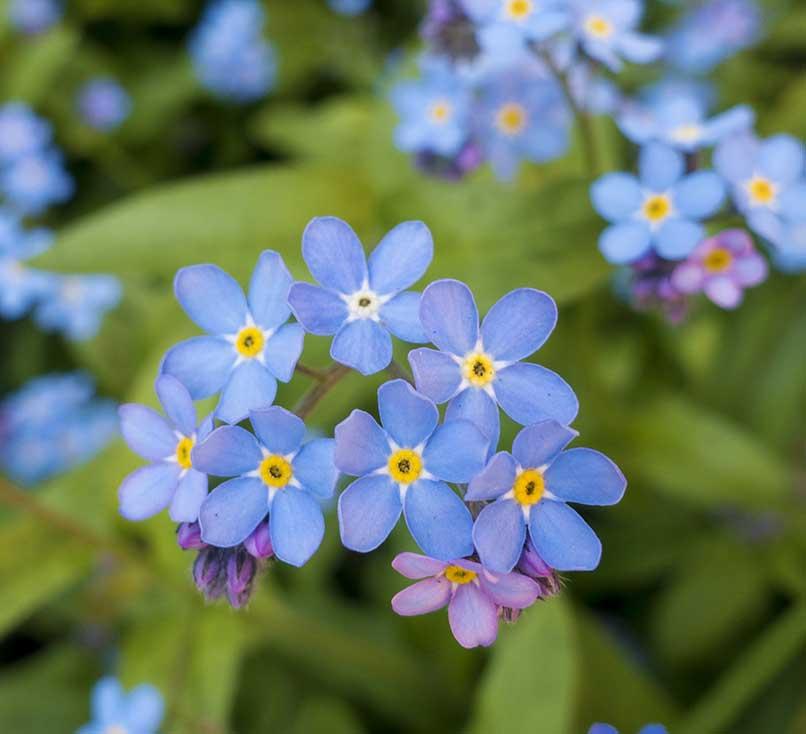 Äkta förgätmigej ej blå blommor