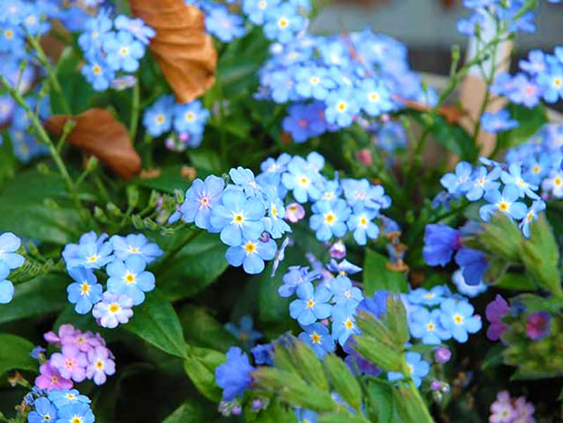Äkta förgätmigej blå blomma