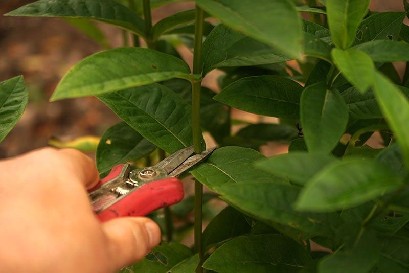 Klipp stickling från floxplanta med sekatör